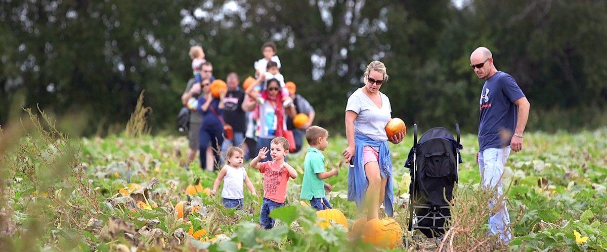 Finding pumpkins at Louisburg Pumpkin Patch