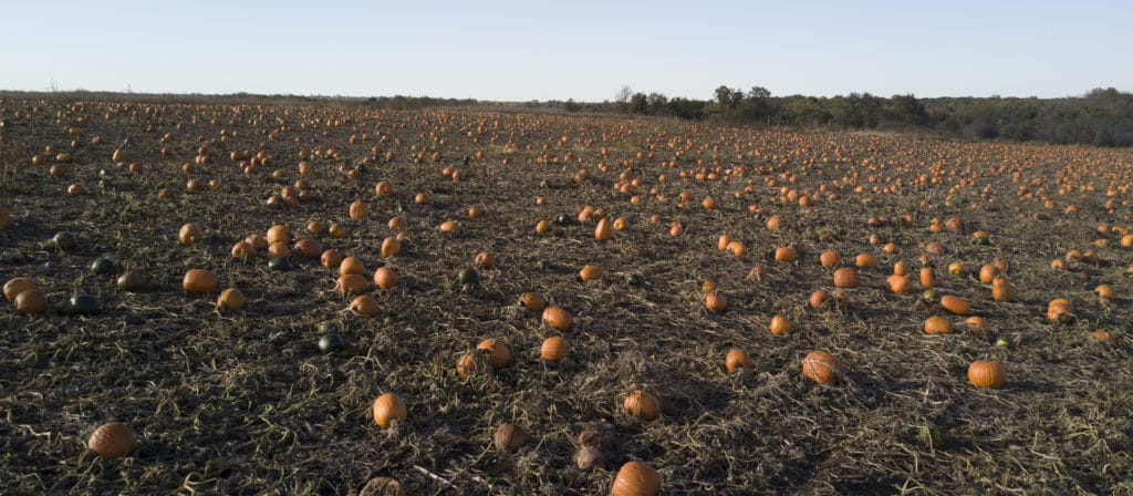 Louisburg Cider Mill Pumpkin field